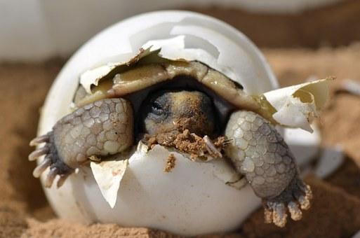 desert-tortoise-987972__340